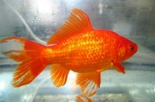 This undated photo courtesy of Peter Ponzio, president of the American Goldfish Association, shows a common goldfish. Ponzio's group of fish enthusiasts exists to provide information about goldfish and to provide judges for goldfish shows across the country, he said.     (AP Photo/Peter Ponzio)