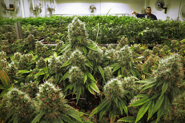 In this Sept. 15, 2015 file photo, marijuana plants are seen nearly ready for harvest at the Ataraxia medical marijuana cultivation center in Albion, Ill. Dr. Bodo Schneider, a physician accused of charging patients for marijuana recommendations without a legitimate doctor-patient relationship, could lose his license in a case critics say highlights the state's strict enforcement. His case came before an administrative law judge Tuesday, Dec. 1, 2015, in Chicago. (AP Photo/Seth Perlman, File)