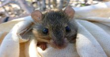 A-melomys-from-the-Torres-Strait-which-gives-an-idea-of-the-size-of-Bramble-Cay-melomys-1024x538