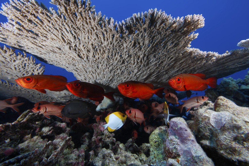 Bigeye soldierfish underneath coral at Rapture Reef, French Frigate Shoals, in the Papahānaumokuākea Marine National Monument. CREDIT: NATIONAL OCEANIC AND ATMOSPHERIC ADMINISTRATION.