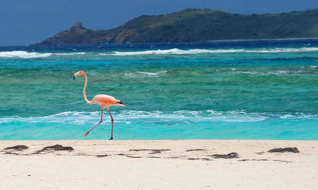 FILE - In this May 17, 2013 file photo, a flamingo walks along the beach on Necker Island in the British Virgin Islands. The British Virgin Islands is setting up a sanctuary for all shark species in its territorial waters to protect the imperiled marine predators whose global numbers have been rapidly dwindling. Necker Island is the home of Richard Branson, the British tycoon and adventurer who has been pushing Caribbean governments to better protect its marine environments. (AP Photo/Todd Vansickle, File)